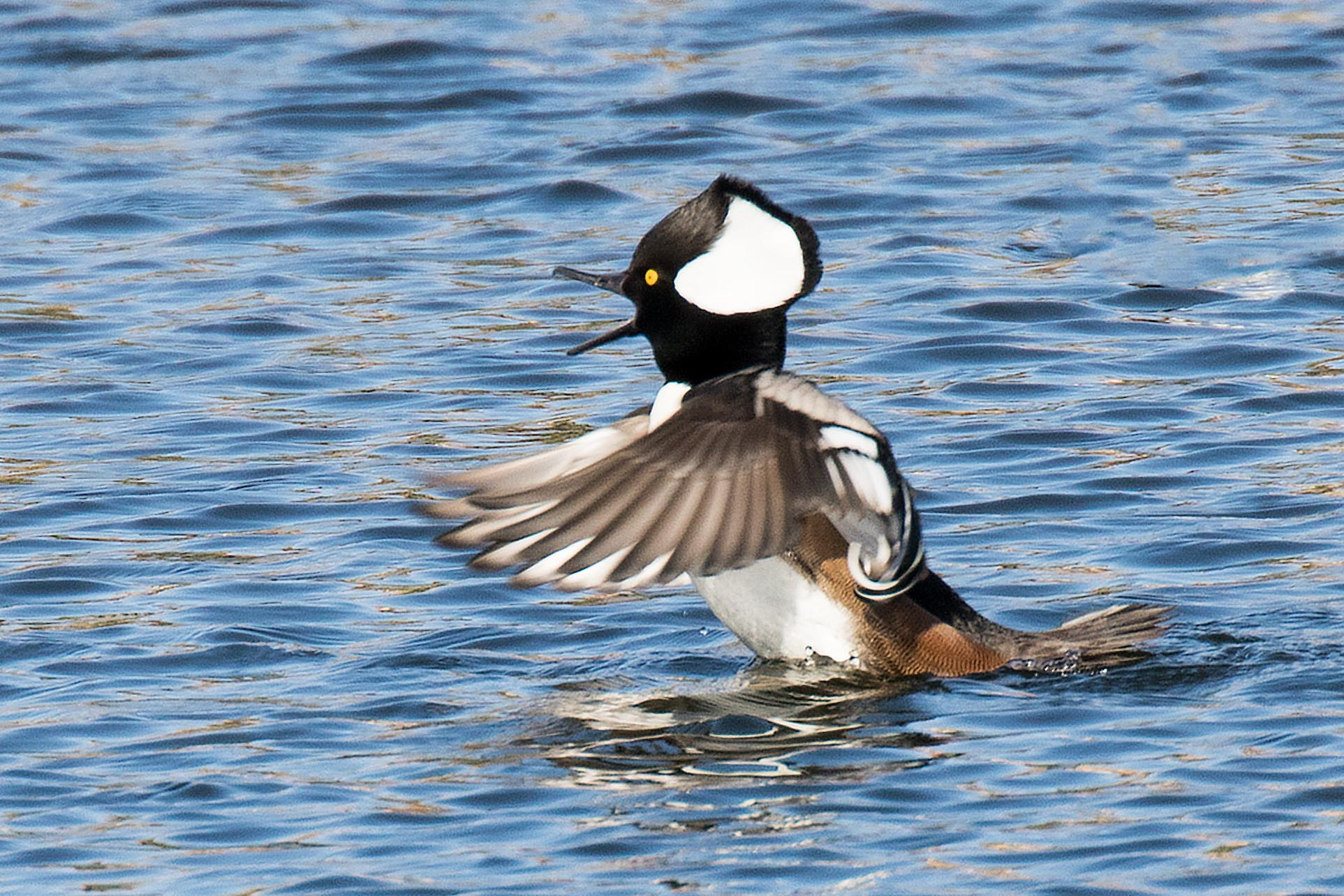 Hooded Mergansers-018 copy