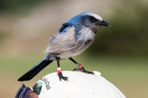 With no provocation, the Florida Scrub Jay landed on a members head!